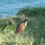 A wallabe at Cape Byron