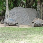 Aldabran Tortoises