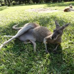 Red Kangaroo with a joey in her pouch