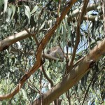 A well-hidden koala