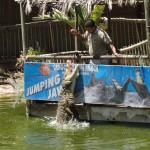 Crocodiles being fed