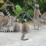 More lemurs