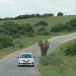 An elephant towering over a car