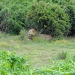 Lion dozing