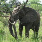 Elephant uprooting a tree