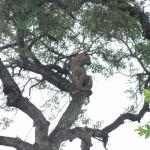 Male leopard sitting in a tree