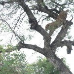 Leopard climbing down from a tree