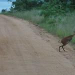 Impala impersonating a Kangeroo