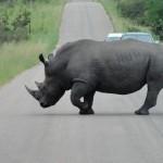 Rhino crossing the road