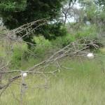 African foam-nest tree frog eggs