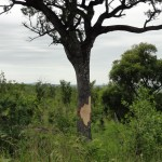 Damage to trees caused by elephants