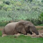 Elephant in the Askari game reserve