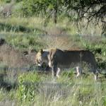 Female lion in the Askari game reserve