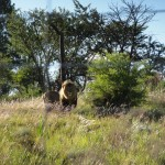Male lion in the Askari game reserve