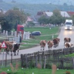 Rush hour for the cows