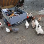The chickens seem to be interested in the tools trailer
